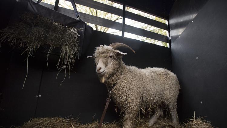 Goat BILL